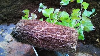 En 2015, je cultive mes patates douces...