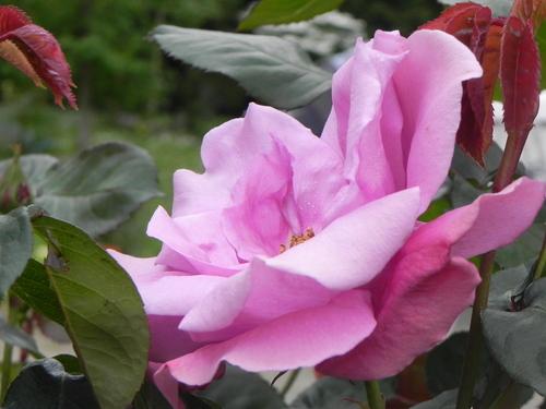 Semis des rosiers