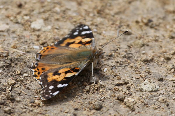 Catalina Island - Butterfly