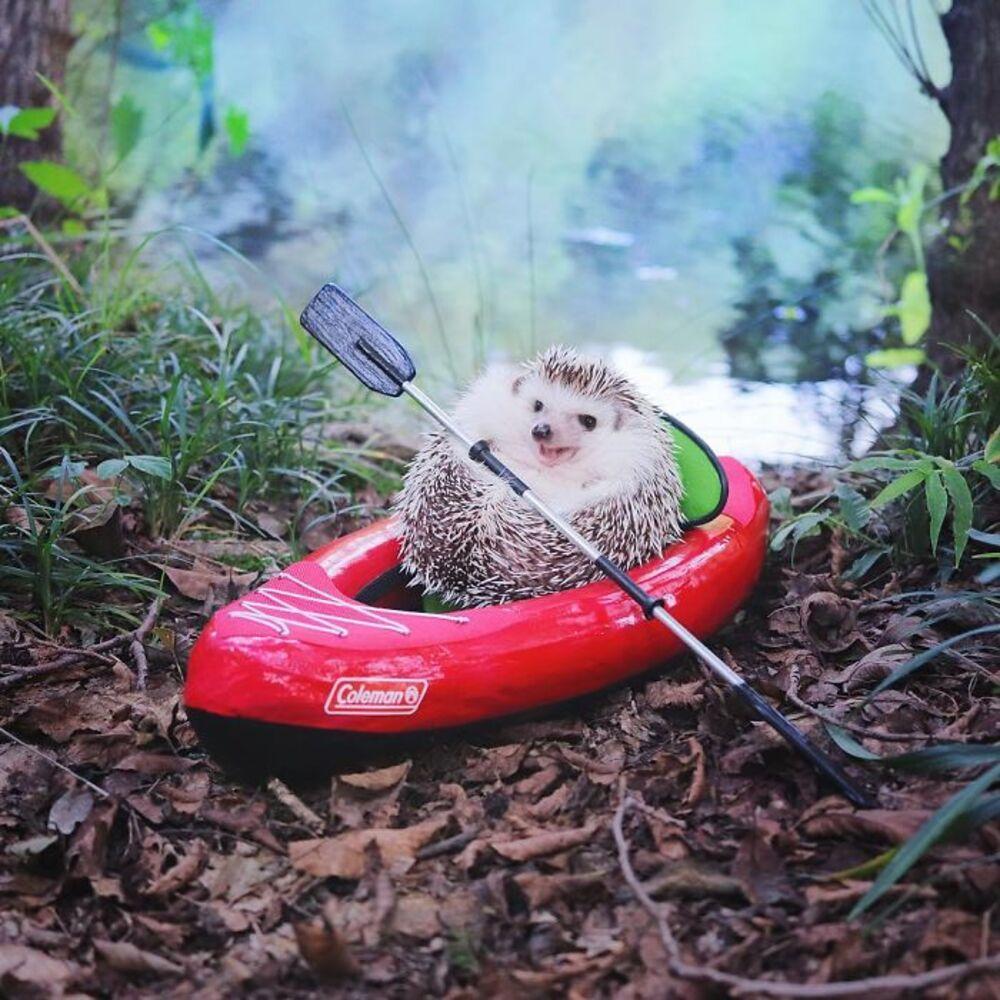 Découvrez Azuki, le hérisson japonais pour qui le camping n'a plus de secret