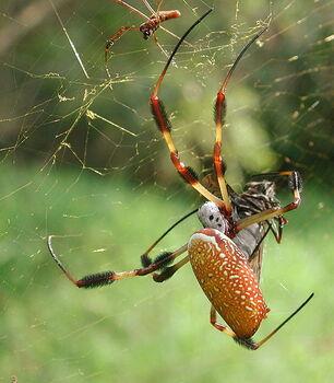 Le dimorphisme sexuel est important entre la femelle et le mâle, qui est à peu près 5 fois plus petit qu'elle.