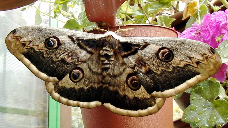 Papillon Grand paon de nuit - Lartigau - Milhas - 31