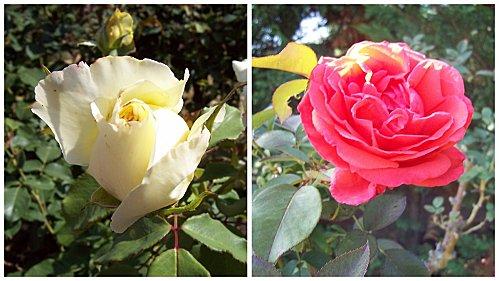 2 roses 2 août 2011