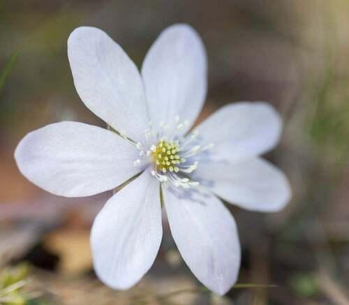 Fleurs cultivées : Hépathique