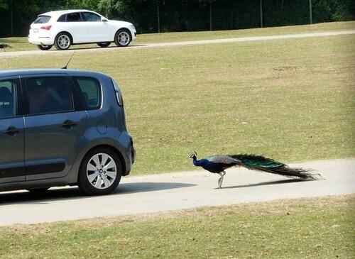 Paon à la poursuite d'une voiture