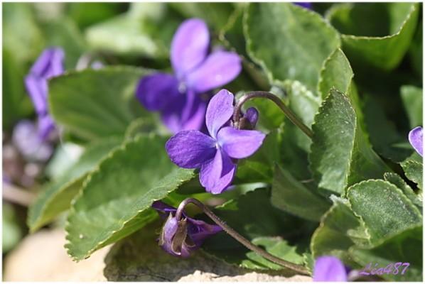 Fleurs-2-3766-Violettes.jpg