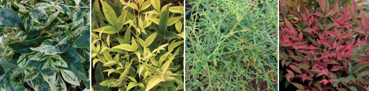 Divers feuillages de Nandina domestica (Bambou sacré)