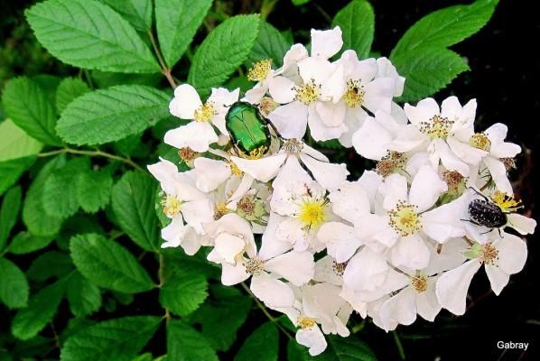 o04 - Les roses et les scarabées
