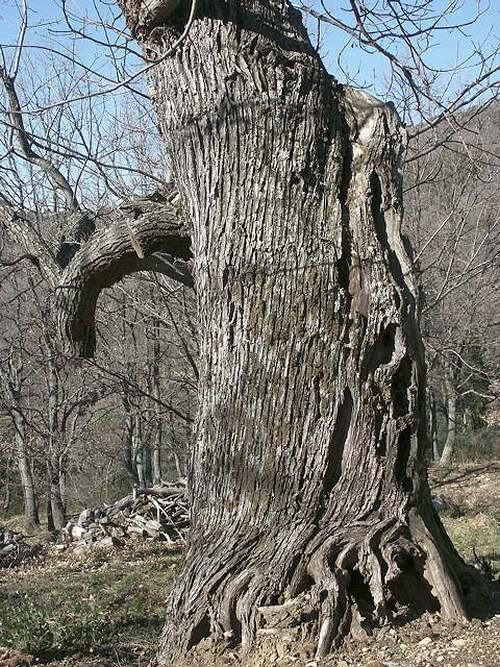 Vertus médicinales des arbres : CHÂTAIGNIER