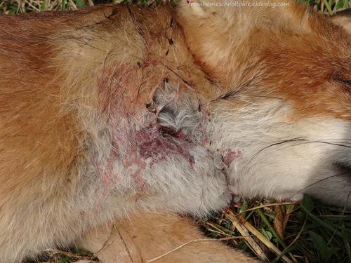Blessure d'un jeune renard trouvé mort sur le bord d'une route de campagne