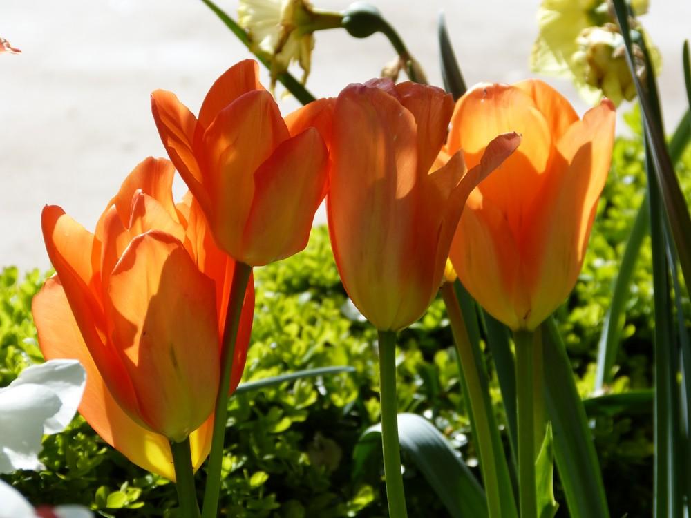 Vive les tulipes !