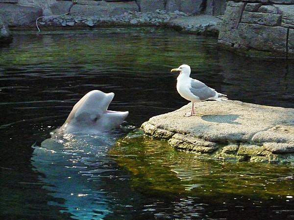 Jour 28 Vancouver aquarium Béluga et mouette