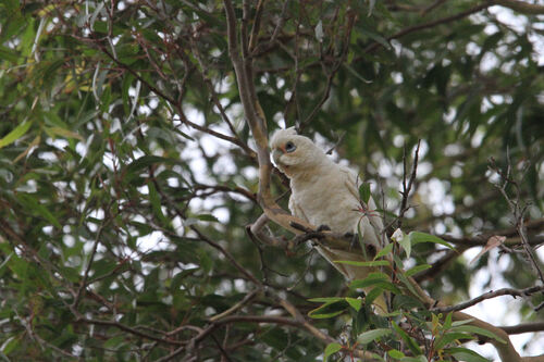 Cacatoès Corella (Little Corella) Australie