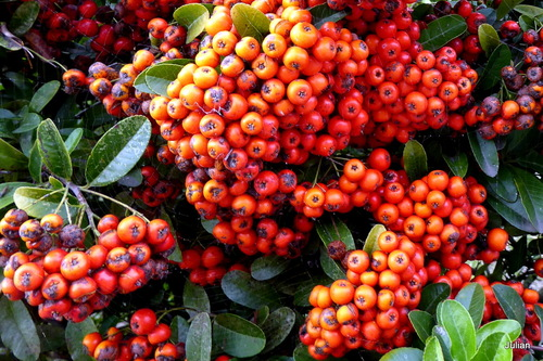 Buisson ardant (pyracantha) : les fruits