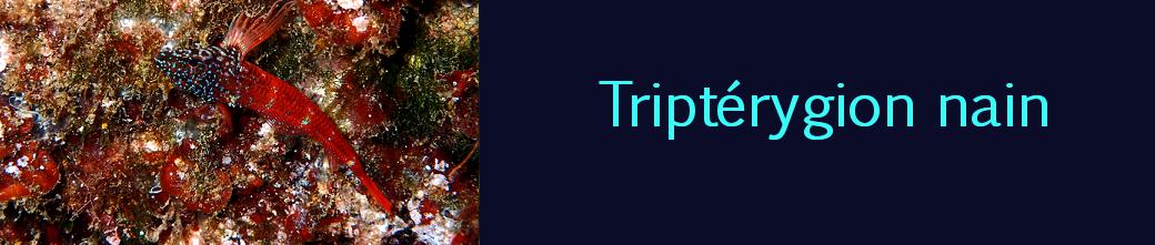 triptérygion nain