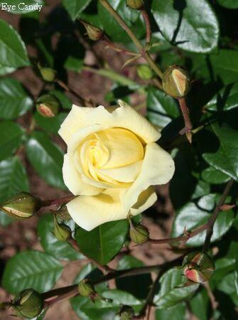 Les Roses de Warren : Eye Candy