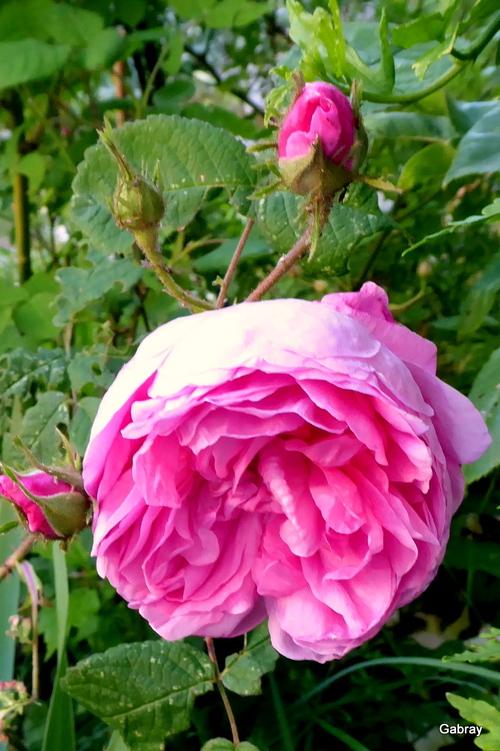 Les roses dans mon jardin