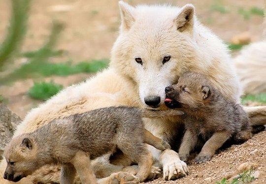maman-louve-petits-429906