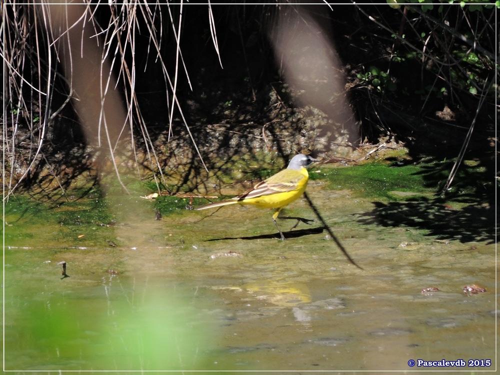 Printemps 2015 à la réserve ornitho du Teich - 9/13