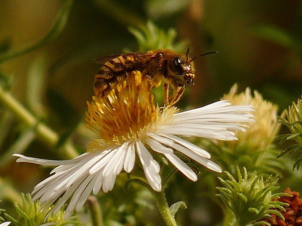 Aster 20-09-Ab