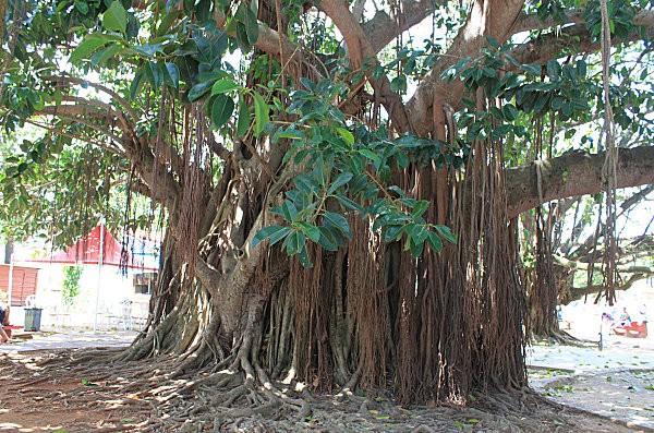 ficus à Matanzas-Cuba (1)