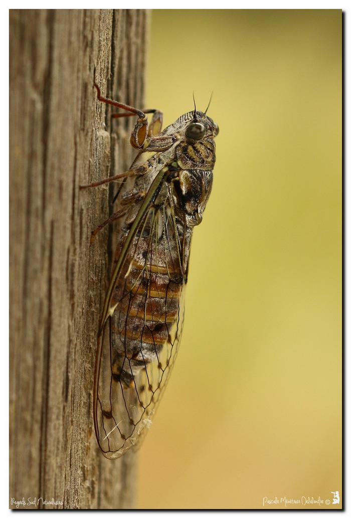 Cigale de l'Orne (Cigale du Frêne) - Tettigia orni, ou notre chant d'été au Sud
