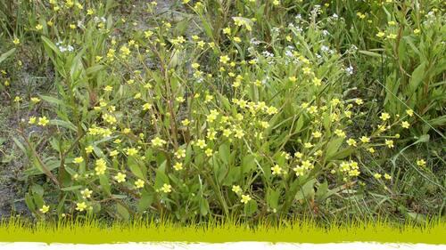 —- Source : reservenaturelle-vacherie.lpo.fr - Renoncule à feuilles d'ophioglosse - Ranunculus ophioglossifolius - Jean-Pierre GUERET —- image/photo pouvant être protégée par Copyright ou autre —-
