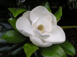 Magnolia_flower1_large