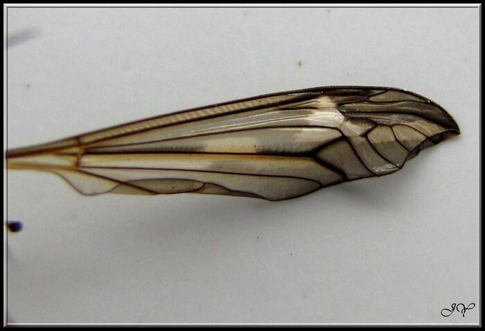 Tipula  vittata.
