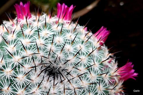 Les fleurs de mon cactus