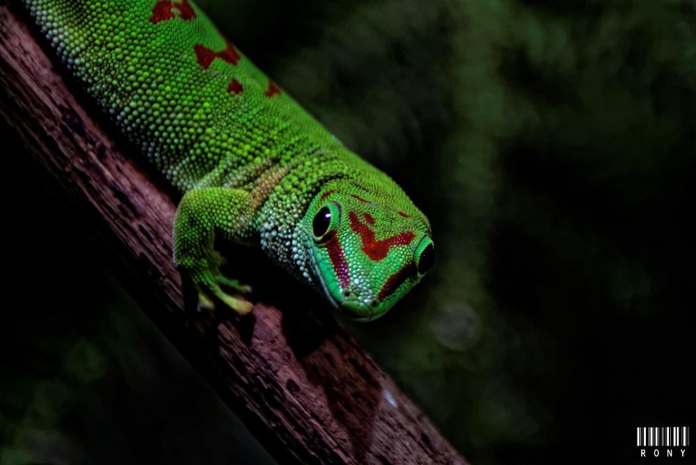 Gecko géant de Madagascar