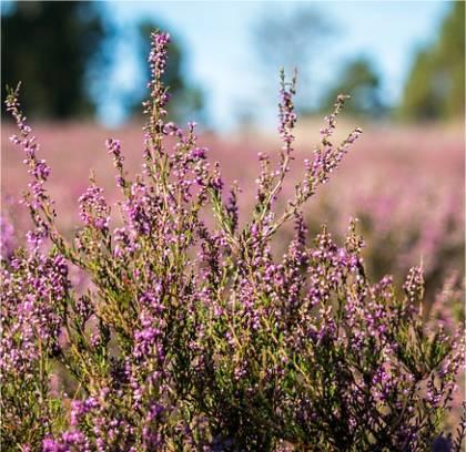 Photo de Bruyère d'été - Calluna vulgaris