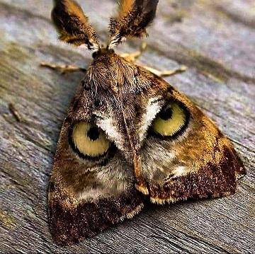 Un papillon hibou c'est chouette ...