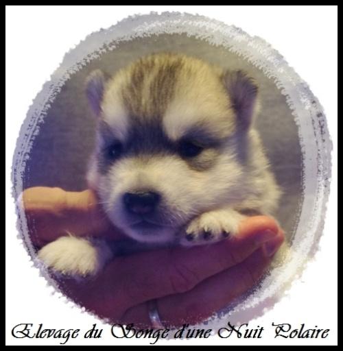 Chiot Husky Femelle 3 (17j)