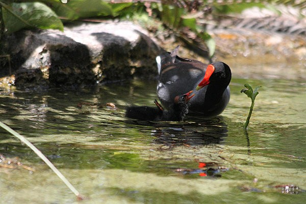 gallinule poule d'eau -1-