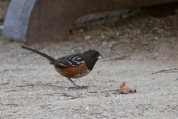 Catalina Island - Spotted Towhee