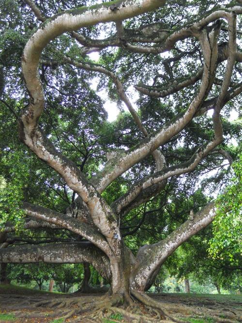 Sri Lanka - Kandy - Jardin botanique