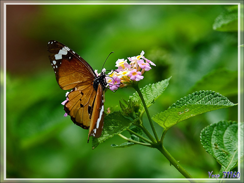 Papillon Petit monarque, Monarque africain, Plain tiger, African monarch (Danaus chrysippus) - Nosy Be - Madagascar