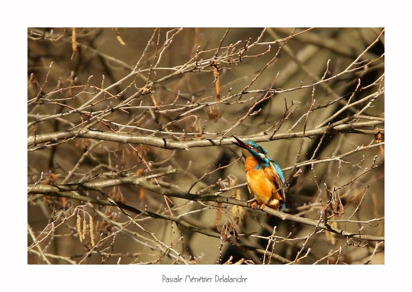 Un martin pêcheur qui aime l'altitude... perché dans un arbre.