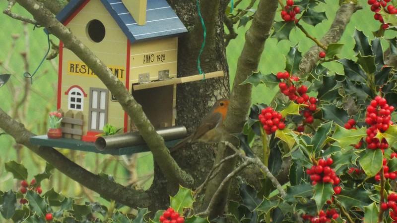 Ouh ! les oiseaux et notre houx !