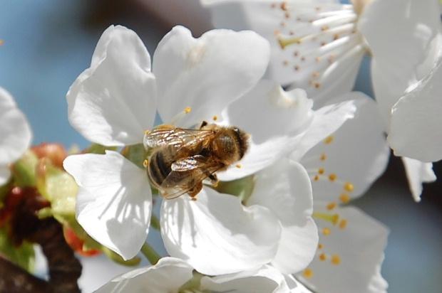 cerisier13k