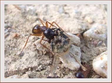 fourmi transportant un morceau d' araignée