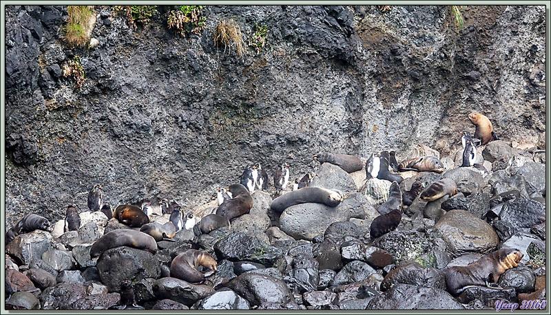 Cohabitation entre les Otaries à fourrure et Gorfous de Moseley - Gough Island - Tristan da Cunha