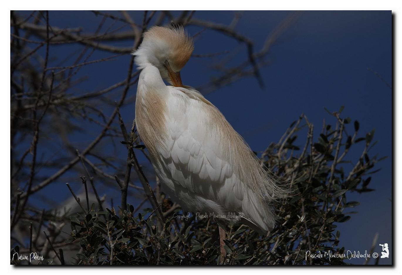 Hérons garde-boeufs en plumage nuptial