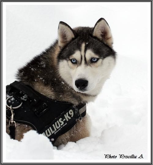Huskys à la neige (4 février 2014)