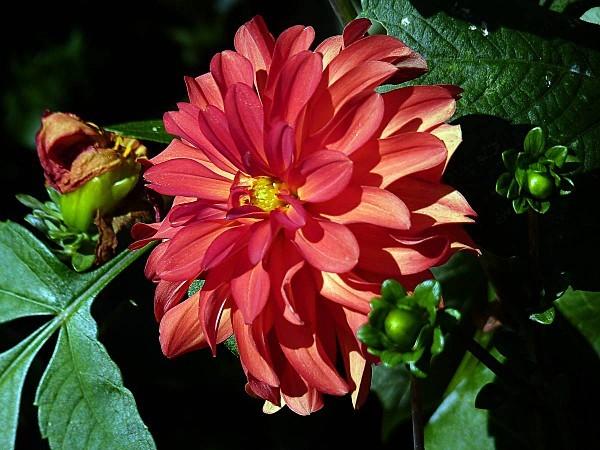 Dahlia orange