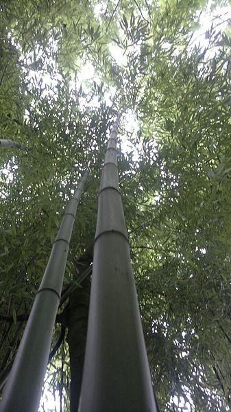 2-Bambou
