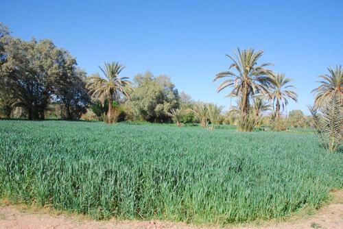 Un champs de céréales