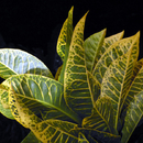 Croton de nuit (1) - Photo : Edgar