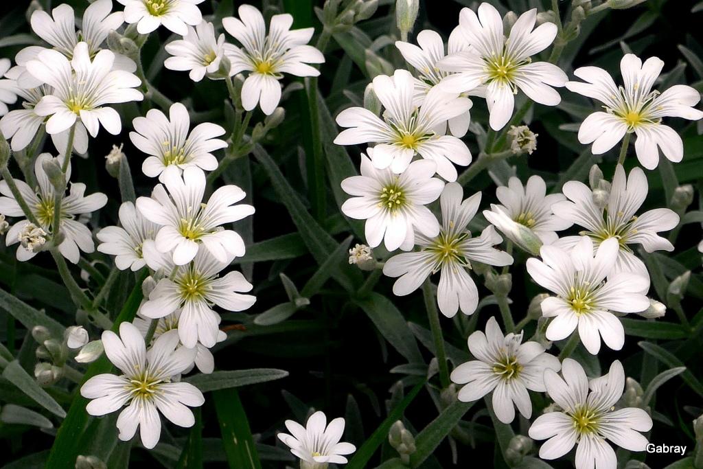 Les fleurs de mon jardin en mai ! - gabray 31 en Tolosan